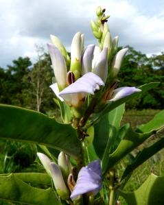 acanthus-ilicifolius