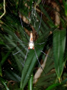 Nephila pilipes with male