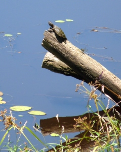 Freshwater Turtle with Dragonfly