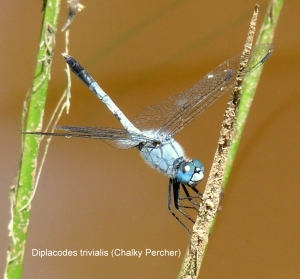 diplacodes-trivialis-2-chalky-percher1