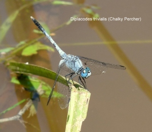 diplacodes-trivialis-chalky-percher