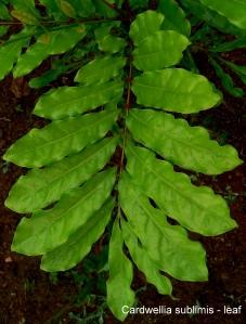 cardwellia-leaf
