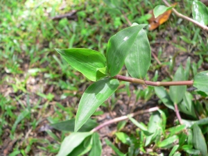 Floscopa scandens leaves