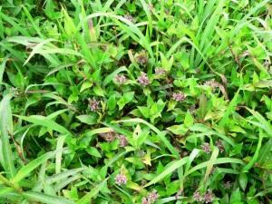 Floscopa scandens