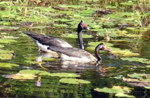 Magpie Geese feeding amongst the lilies
