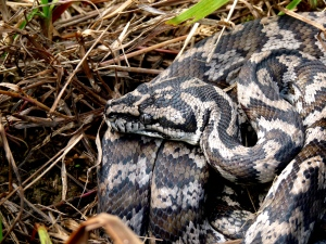 Carpet snake head close-up
