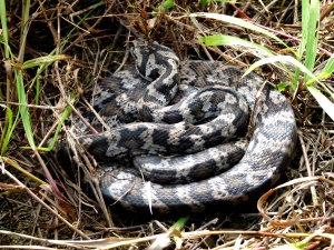 Carpet snake showing bulge