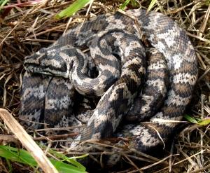 Morelia spilota (Carpet Python)