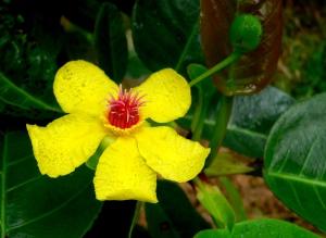 Dillenia alata flower