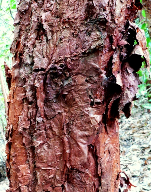 Dillenia alata flaky trunk