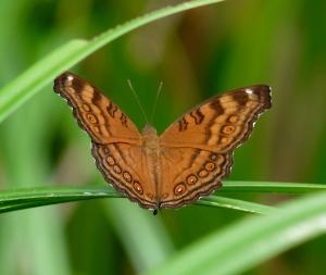 Junonia hedonia zelima (Brown Soldier)