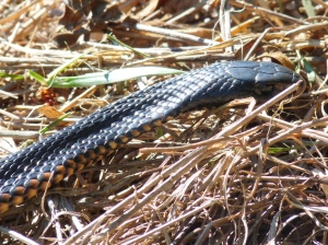 Red-bellied Black Snake (Pseudechis porphyriacus)