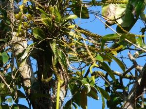 Thrixspermum platystachys