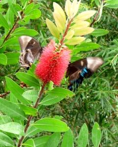Ulysses (Papilo ulysses) on Callistemon flower