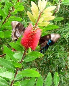Ulysses (Papilo ulysses) on Callistemon flower