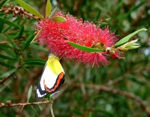 Union Jack Butterfly (Delias mysis mysis)