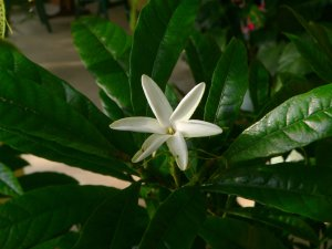 Gardenia actinocarpa flower