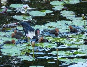 Goose & goslings 2