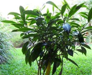 Daintree Gardenia - Gardenia actinocarpa