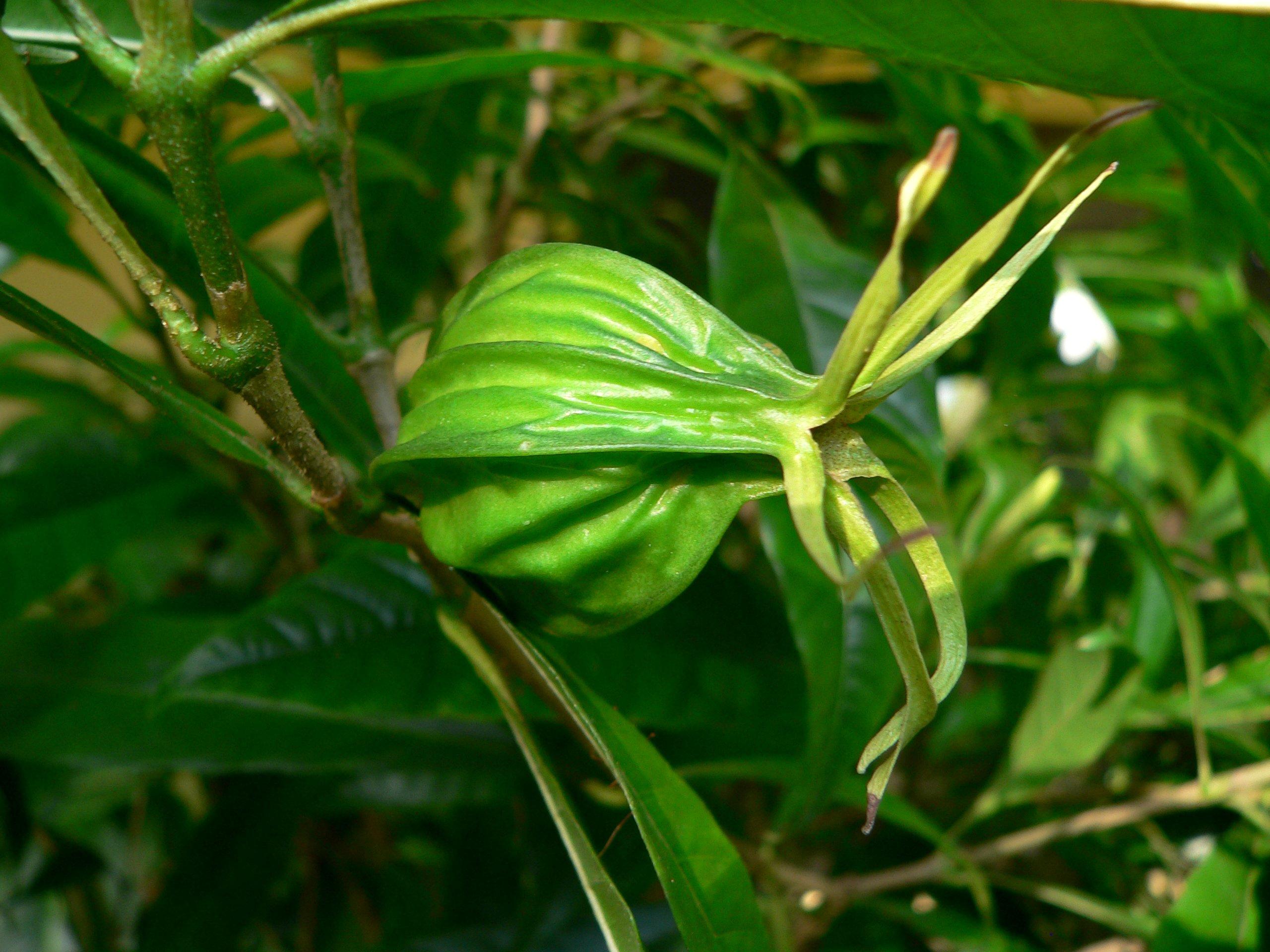 gardenia actinocarpa u2013 daintree gardenia wild wings u0026 swampy things