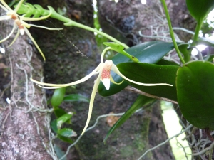 Thrixspermum platystachys flower