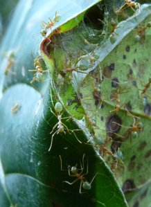 Green Ant construction