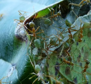 Green ant with larvae