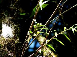 Trachyrhizum agrostophyllum - Buttercup Orchid