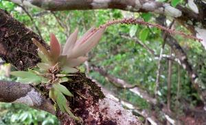 Oberonia titania