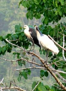 W-N Heron & R Spoonbill