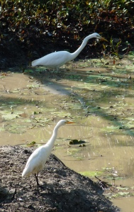 Gr & Int Egret
