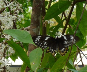 Female Birdwing on Phaleria