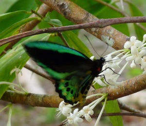 Male Birdwing on Phaleria
