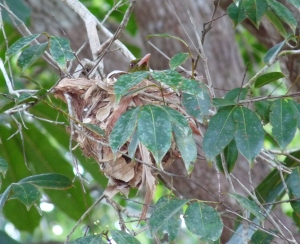 Yellow Oriel on nest