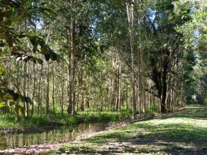 Track to orchard - Paperbark swamp to the left