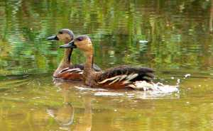 Wild_Wings_Swampy_Things_Daintree_Wetlands_Birds_WhistlingDuck