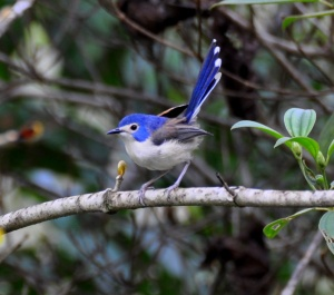 Wild_Wings_Swampy_Things_Daintree_Lovely_FairyWren_female
