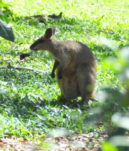 Wild_Wings_Swampy_Things_Daintree_Swamp_Wallaby_sitting