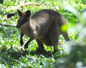 Wild_Wings_Swampy_Things_Daintree_Swamp_Wallaby_close