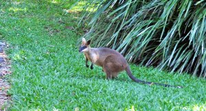 Wild_Wings_Swampy_Things_Daintree_Swamp_Wallaby