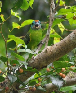 Wild_Wings_Swampy_Things_Birds_Double-eyed_FigParrot_female