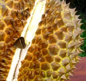 Wild_Wings_Swampy_Things_Daintree_Durian_cracking