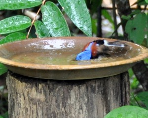 Wild Wings Swampy Things Daintree_Birds_LovelyFairyWren_male_seriousbathing