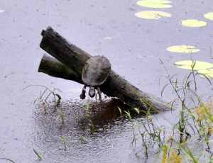 Wild_Wings_Swampy_Things_Wetland_Saw-shelled Turtle