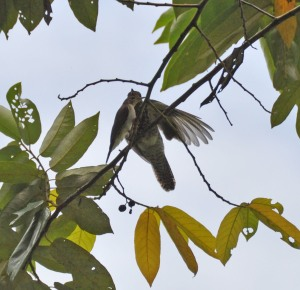 Wild_Wings_Swampy_Things_BrushCuckoo-1