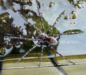 Wild_Wings_Swampy_Things_waterspider