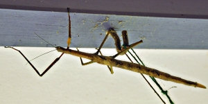 Wild Wings Swampy Things Wulfing's Stick-insect