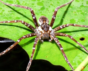 wild_wings_swampy_things_spider_dolomedes