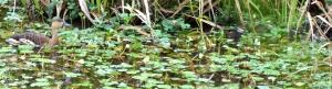 wild_wings_swampy_things_birds_whistling ducks_ducklings