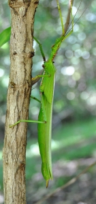 wild_wings_swampy_things_stickinsects_parapodacanthus